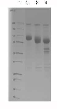 SDS-PAGE - EGFR protein (Fc Chimera Active) (ab84002)