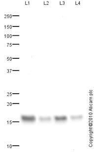 Western blot - Fatty Acid Binding Protein 5 antibody (ab84028)