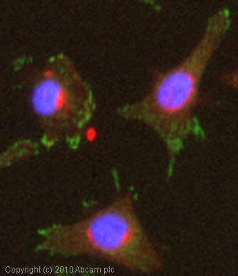 Immunocytochemistry/ Immunofluorescence - Rho GTPase-activating protein 24 antibody (ab84046)