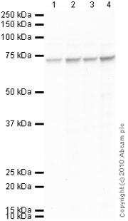 Western blot - TLS/FUS antibody (ab84078)