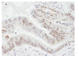Immunohistochemistry (Formalin/PFA-fixed paraffin-embedded sections) - PGC1 alpha antibody (ab84139)