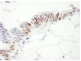 Immunohistochemistry (Formalin/PFA-fixed paraffin-embedded sections) - MCM3 antibody (ab84151)