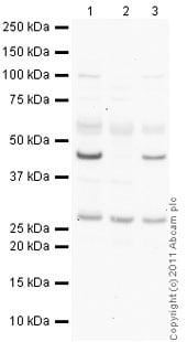Western blot - Anti-Interferon beta antibody (Biotin) (ab84258)