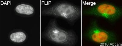 Immunocytochemistry/ Immunofluorescence - FLIP antibody (ab84283)