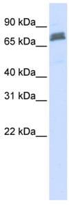 Western blot - TRIM45 antibody (ab84303)