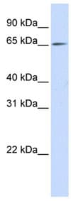 Western blot - NET1 antibody (ab84319)