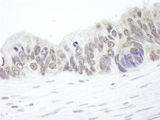 Immunohistochemistry (Formalin/PFA-fixed paraffin-embedded sections) - Ribosomal protein L26 antibody (ab84359)