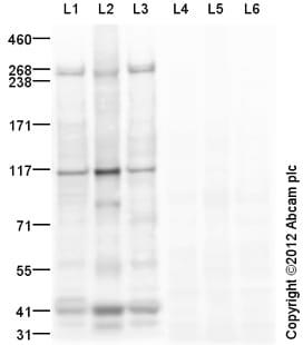 Western blot - Anti-mTOR (phospho S2448) antibody (ab84400)