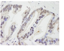 Immunohistochemistry (Formalin/PFA-fixed paraffin-embedded sections) - RNF41 antibody (ab84409)