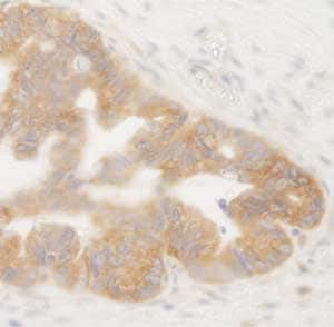 Immunohistochemistry (Formalin/PFA-fixed paraffin-embedded sections) - BIRC6 antibody (ab84429)