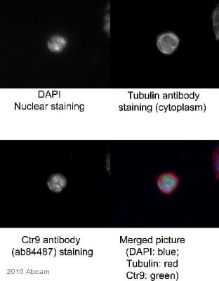 Immunocytochemistry/ Immunofluorescence - CTR9 antibody (ab84487)