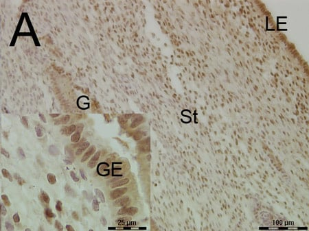 Immunohistochemistry (Formalin/PFA-fixed paraffin-embedded sections) - Anti-FKBP52 antibody (ab84536)