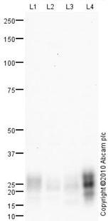 Western blot - MUC1 antibody (ab84597)