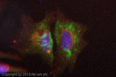 Immunocytochemistry/ Immunofluorescence - Cytochrome P450 2E1 antibody (ab84598)