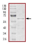 SDS-PAGE - Tau441 protein (Human) (ab84700)