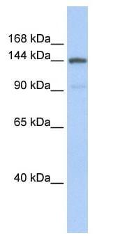 Western blot - COL1A2 antibody (ab84713)