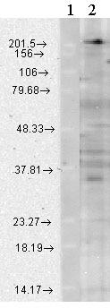 Western blot - CaV1.3 antibody [S38-8] (ab84811)