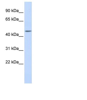 Western blot - WDR45L antibody (ab85003)