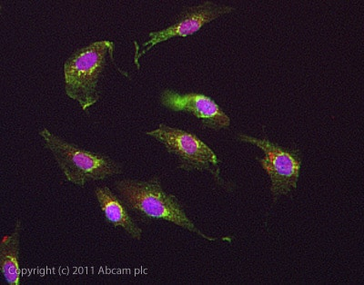Immunocytochemistry/ Immunofluorescence - Anti-GPCR GPR6 antibody (ab85005)