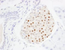 Immunohistochemistry (Formalin/PFA-fixed paraffin-embedded sections) - MafA antibody (ab85008)