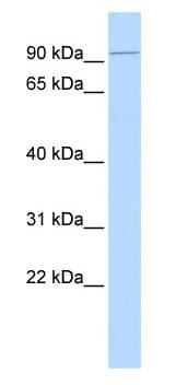 Western blot - Kinesin C2 antibody (ab85013)