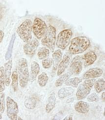 Immunohistochemistry (Formalin/PFA-fixed paraffin-embedded sections) - Drosha antibody (ab85027)