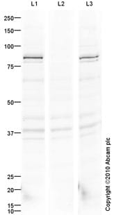 Western blot - TrkA (phospho Y490) antibody (ab85130)