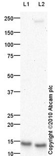 Western blot - HE4 antibody (ab85179)