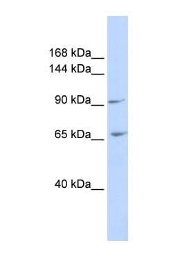 Western blot - ICAM5 antibody (ab85191)