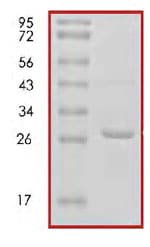 SDS-PAGE - 14-3-3 Tau protein (Human) (ab85270)