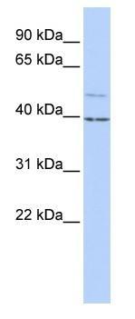 Western blot - KCNK9 antibody (ab85289)