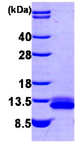 SDS-PAGE - SDF1 protein (His tag) (ab85487)