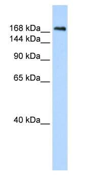 Western blot - Caspr antibody (ab85512)