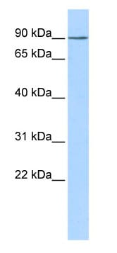 Western blot - KCTD3 antibody (ab85520)