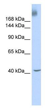 Western blot - KAT4 / TBP Associated Factor 1 antibody (ab85533)