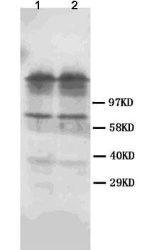 Western blot - Dopamine Receptor D1 antibody (ab85608)