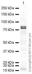 Western blot - Anti-Choline Acetyltransferase antibody (ab85609)