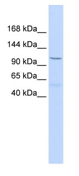 Western blot - PCDH8 antibody (ab85747)