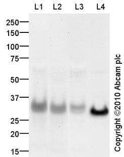 Western blot - CD8 antibody (ab85792)