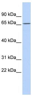 Western blot - PRDM8 antibody (ab85806)