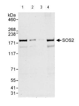 Western blot - SOS2 antibody (ab85831)