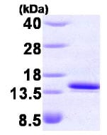 SDS-PAGE - FKBP12 protein (His tag) (ab85840)