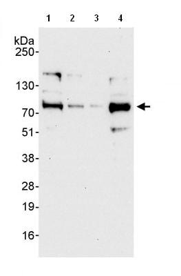 Western blot - dystrophia myotonica containing WD repeat motif antibody (ab85932)
