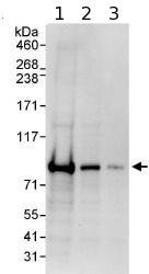 Western blot - EPS8L2 antibody (ab85960)