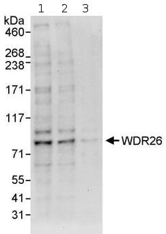 Western blot - WDR26 antibody (ab85961)