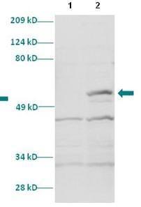 Western blot - HOXC11 antibody (ab86013)