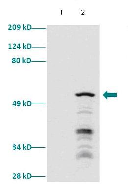 Western blot - SIX1 antibody (ab86028)