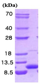 SDS-PAGE - Cellubrevin protein (Human) (ab86097)