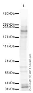 Western blot - NuMA antibody (ab86129)