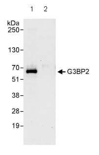 Immunoprecipitation - G3BP2 antibody (ab86135)